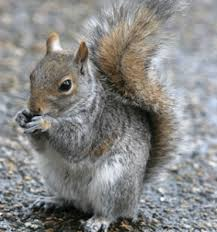 Louisville Squirrel Removal